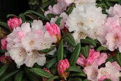 Rhododendron 'Aprilmorgen'