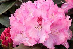 Rhododendron 'Arabella'