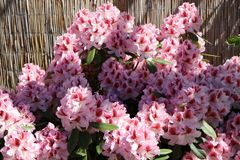 Rhododendron 'Belami' ®