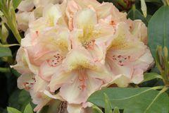 Rhododendron 'Belkanto' (S)
