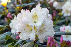 Rhododendron 'Blankenese'