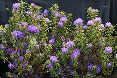 Rhododendron 'Blaufeder'