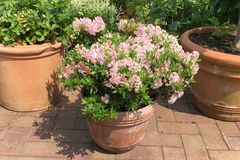 Rhododendron 'Bloombux' ® (Pink)
