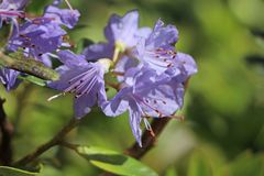 Rhododendron 'Blue Tit Magor'