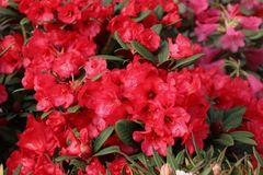 Rhododendron 'Burletta'