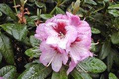 Rhododendron 'Cassata'