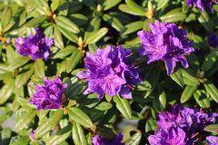 Rhododendron 'Enziana'