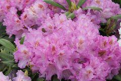 Rhododendron 'Ernest Inman'