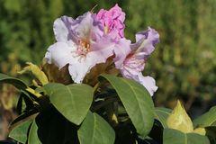 Rhododendron 'Eskimo'