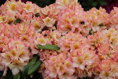 Rhododendron 'Fluidum'