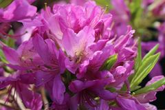 Rhododendron 'Fraseri'