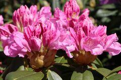 Rhododendron 'Frentano' ®