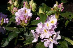 Rhododendron 'Genoveva'