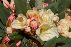 Rhododendron 'Golden Melodie'