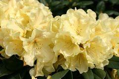 Rhododendron 'Goldinetta' ®