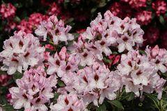 Rhododendron 'Graffito' ®