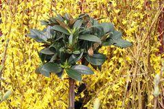 Rhododendron 'Honigduft' ®