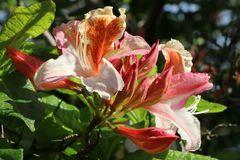 Rhododendron 'Jock Brydon'