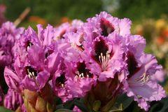 Rhododendron 'Kabarett' ®