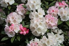 Rhododendron 'King's Ride'