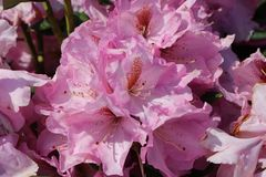Rhododendron 'Lavender Princess'