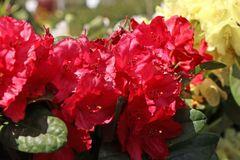 Rhododendron 'Lisetta' ®