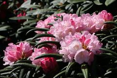 Rhododendron 'Makiyak'