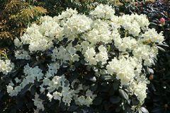 Rhododendron 'Marietta'