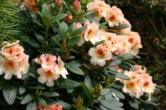 Rhododendron 'Marylou'