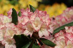 Rhododendron 'Minikin'