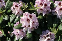 Rhododendron 'Pinguin'