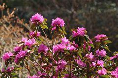 Rhododendron 'P.J.M.Elite'