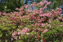 Rhododendron 'Rosy Lights'