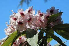 Rhododendron 'Sarastro'
