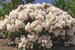 Rhododendron 'Schneekissen'