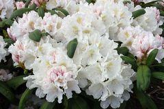 Rhododendron 'Schwanensee'