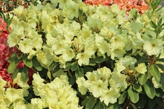 Rhododendron 'Simson'