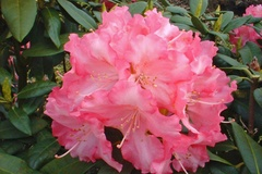 Rhododendron 'Sonatine'