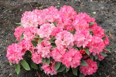 Rhododendron 'Tina Heinje'