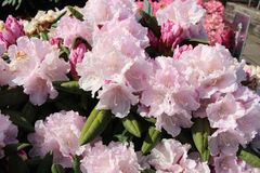 Rhododendron 'Trinity'