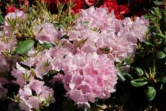 Rhododendron 'Vater Böhlje'