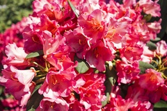 Rhododendron 'Vorwerk Abendsonne'