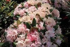 Rhododendron 'Wanna Bee'