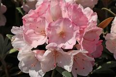 Rhododendron 'Yaku Sunrise'
