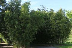 Riesenbambus / Grünrohr Bambus