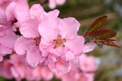 Rotblättriger Zierpfirsich 'Spring Glory'