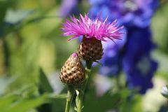 Rotblühende Flockenblume 'Steenbergii'