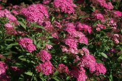 Rote Sommerspiere 'Anthony Waterer'