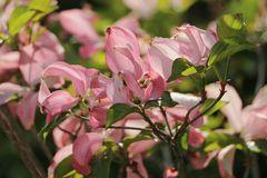Roter Blumen-Hartriegel 'Rubra'
