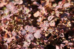 Rotes Stachelnüsschen 'Purpurea'